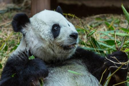 Photo for Pretty Giant Panda close up - Royalty Free Image