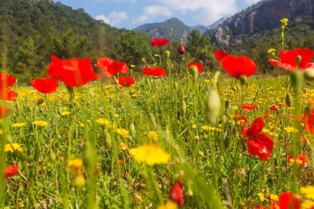 Wild red poppy flowers on the meadow