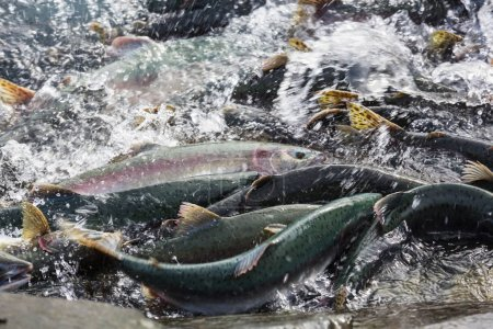 Spawning salmon in water