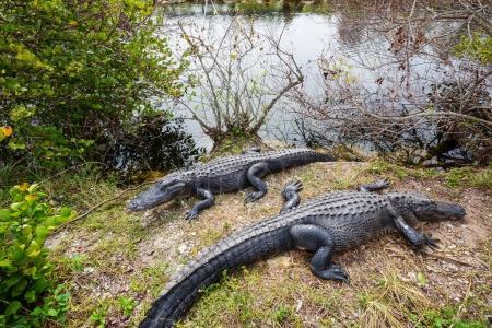 Alligators in Florida in nature habitat