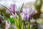 Beautiful spring crocuses close up