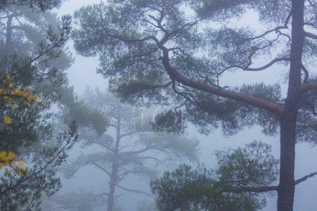 Photo pour Forêt brumeuse magique. Beaux paysages naturels . - image libre de droit
