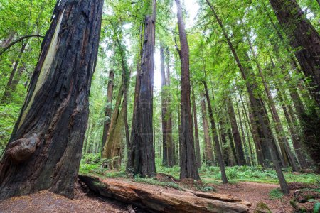Photo pour Redwood trees in Northern California forest, Usa - image libre de droit