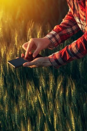 Photo for Agronomist using smart phone app to analyze crop development, female hands with mobile phone in cultivated wheat field - Royalty Free Image