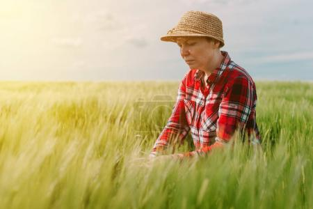 Female farmer examining wheat crops