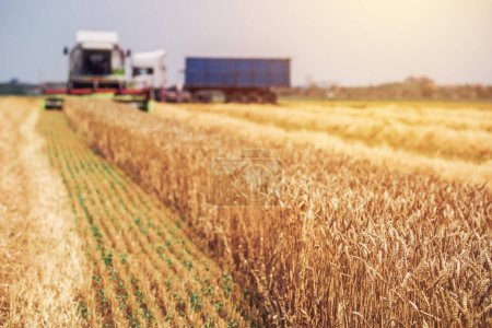 Photo for Combine harvester machine harvesting ripe wheat crops in cultivated agricultural field, selective focus - Royalty Free Image