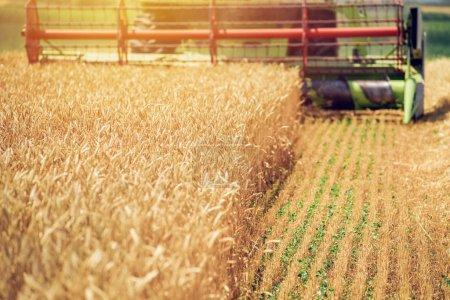 Photo pour Combiner moissonneuse-batteuse récolte de blé mûr cultures dans un champ agricole cultivé, accent sélectif - image libre de droit