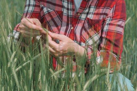 Photo pour Mains d'une agricultrice agronome examinant des épis d'orge verte dans un champ, les mains rapprochées touchant les cultures - image libre de droit