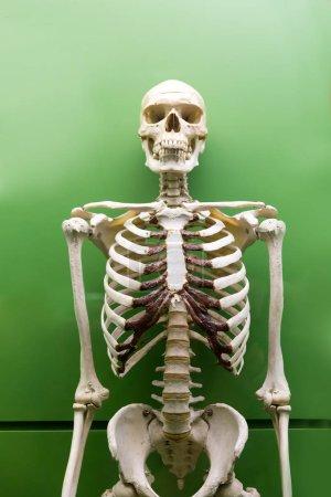 skeleton model in museum