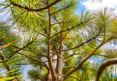 Photo for Closeup of pine tree branches against blue sky - Royalty Free Image