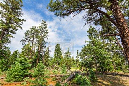 Photo pour Forêt de pins dans le ciel nuageux, Parc National de Bryce Canyon, Utah, Usa - image libre de droit