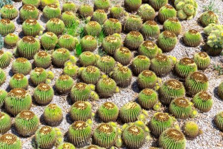 Many little green cactuses