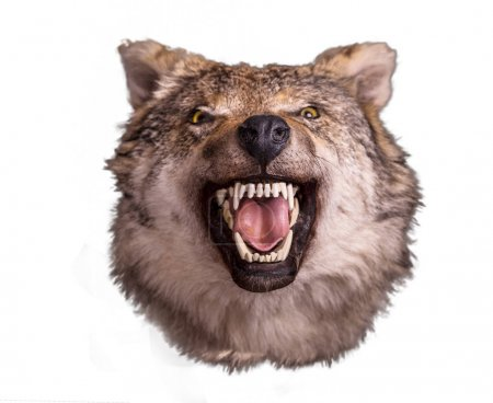 Wolf head with angry muzzle