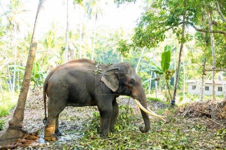 Photo pour Éléphant sauvage de Ceylan dans la jungle tropicale. Sri Lanka faune - image libre de droit