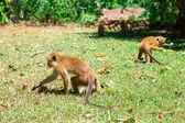 """Постер, картина, фотообои """"милые маленькие обезьяны на Шри-Ланке"""""""