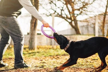 male cynologist working with trained police dog, training outdoor