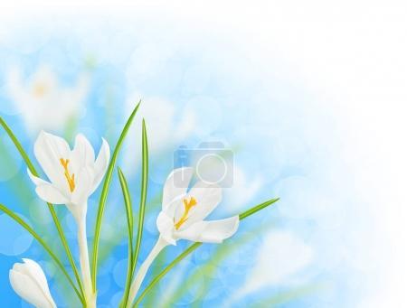 Foto de Flores de primavera. Florecientes Azafranes blancos sobre fondo de cielo azul brillante con trazado de recorte, elemento de diseño de la esquina - Imagen libre de derechos
