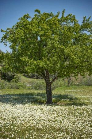 Photo pour Pommier belle entourée de fleurs sauvages petite Marguerite blanche - image libre de droit