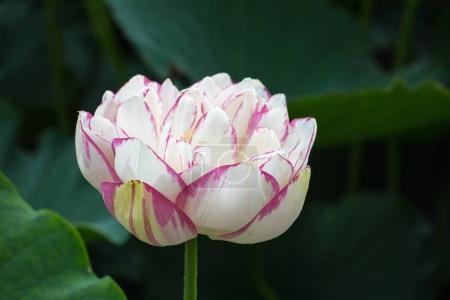 Photo pour Fleur de lotus en pleine floraison est le symbole du bouddha - image libre de droit
