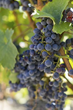 Close up of grape bunch on stem at daytime