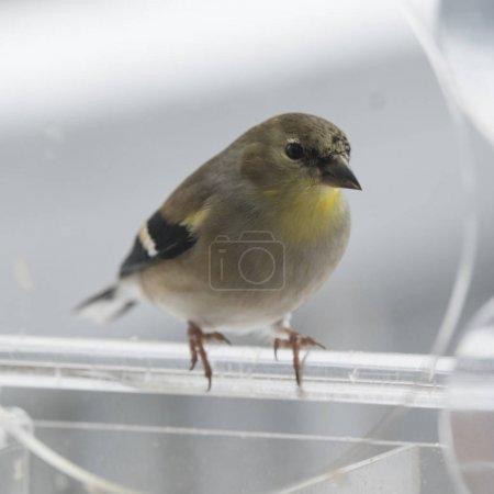 American goldfinch in bird feeder