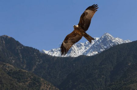 Photo for Eagle flying in Himalayas mountains in Dharamshala, India - Royalty Free Image