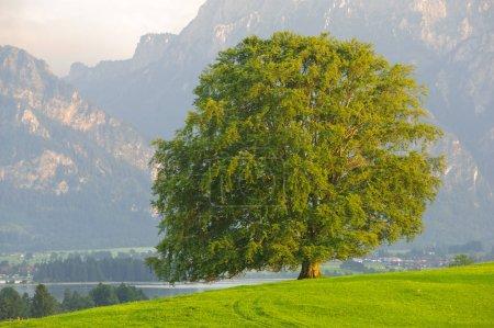 Photo pour Seul grand hêtre dans le champ avec la cime parfaite des arbres - image libre de droit