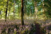 Sunrise in bluebell forest with little path