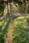 Bluebell woodland path with dreamy sunrise