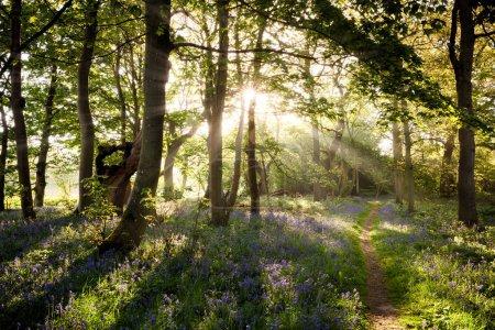 Photo pour Sentier forestier Bluebell avec beau lever de soleil à travers les arbres et les puits de lumière - image libre de droit