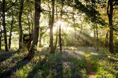 Enchanting bluebell woodland path and sunrise