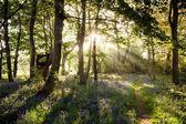 Enchanting bluebell woodland path and sunrise