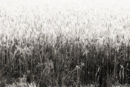 Photo for Field of wheat crop in black and white - Royalty Free Image