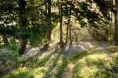 Magical path through bluebell forest with early morning sunrise