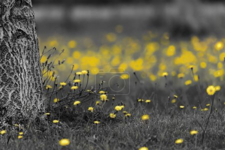 Field of dandelions in black and white with the ye...