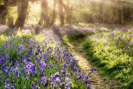 Photo for Spring bluebell path through a magical forest. Dawn sunlight coming through the misty trees - Royalty Free Image
