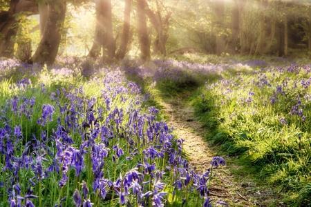 Photo pour Sentier printanier de Bluebell à travers une forêt magique. Lumière du soleil de l'aube venant à travers les arbres brumeux - image libre de droit