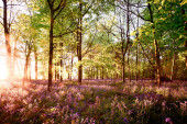 Sunrise in bluebell woodland