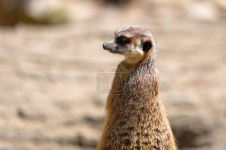 Meerkats in the wild