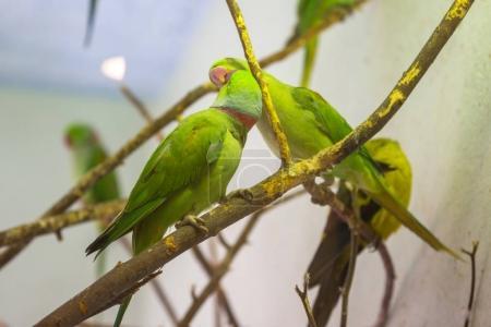 Green parrots portrait