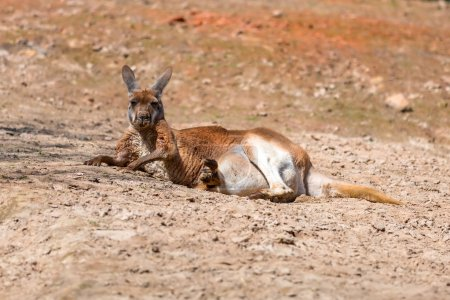 Kangaroo lying down