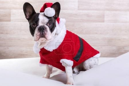 French bulldog in santa costume for Christmas