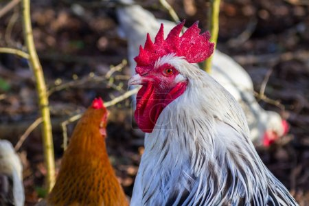 Rooster and hens on the farm