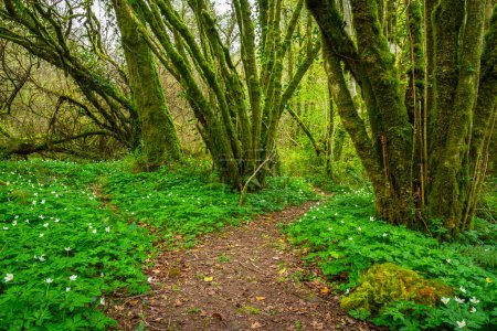 Pathway in the green forest, Ireland