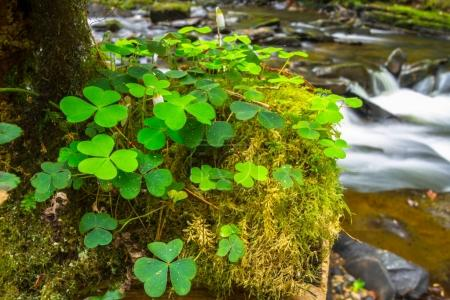 Green clover leafs in the forest of Ireland