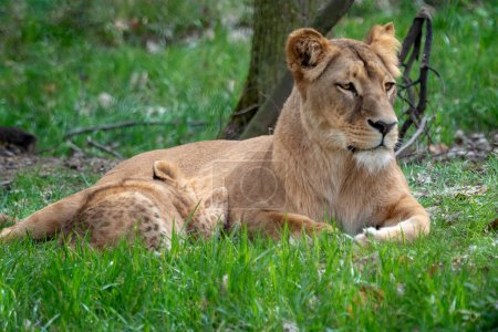 Lion mother with her young cubs. Congolese lion (P...