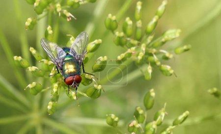 Photo pour Insecte voler sur la feuille verte. chair verte mouche lucilia caesar - image libre de droit