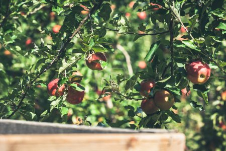 Photo for Apple orchard full of riped red fruits at sunny summer day - Royalty Free Image