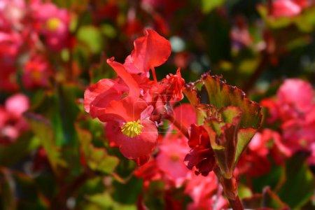 Photo pour Cire begonia Trophée Rouge - Nom latin - Begonia semperflorens Trophée Rouge - image libre de droit