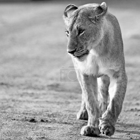 Photo for Lioness in the Maasai Mara National Park, Kenya - Royalty Free Image